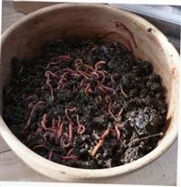 Green Compost Worms
